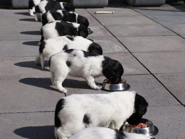 Stabij pups eten buiten