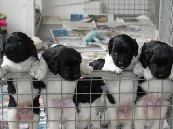 pups 4 weken Stabij